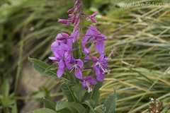 "Fireweed • <a style=""font-size:0.8em;"" href=""http://www.flickr.com/photos/63501323@N07/22966569215/"" target=""_blank"">View on Flickr</a>"