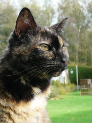 Chiffonnette (Lau (Fripy) Trs absente cette semaine...) Tags: cat garden chat jardin tortie coth bestofcats ecailledetortue catmoments vg~catsgallery