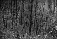 dense forest, trees, near Portole, Tuscany, Italy, Bencini Koroll 24S, Ilford HP5+, Moersch Eco Film Developer, 11.23.15 (steve aimone) Tags: trees blackandwhite italy forest landscape monochromatic ilfordhp5 tuscany lookingdown density verticality visualrhythm portole bencinikoroll24s moerschecofilmdeveloper