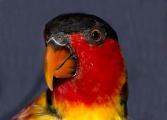 Yellow-Bibbed Lory (Lorius chlorocercus) (Vegas Nelson) Tags: camera arizona bird places lory nikond800 wildlifeworldzooaquarium