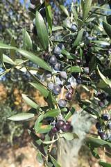 Olives negres (esta_ahi) Tags: barcelona españa spain árboles olives árbol aceitunas olivas olivetree olivo oleaeuropaea oleaceae cultivados испания vilafrancadelpenedès