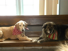 Mitzi & Marley (happy_hounds) Tags: dogdaycare dog daycare puppy pups boarding cagefree dogsofflickr purebred rescuedog happyhounds plymouthmichigan happyhoundsdogdaycare