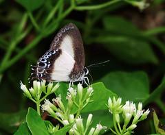 Hypolycaena danis (Black and White Tit or Orchid Flash) (ID-A012) (Butterflies in Still Air) Tags: wedatengah malukuutara 印尼 id hypolycaenadanis orchidflash blackandwhitetit hypolycaenadanisdanis lcy2016 lcyspid lcynsp indonesia butterfly halmahera danispattern
