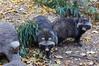 Tanuki at Zoo Atlanta 2016-11-16 (kuromimi64) Tags: zooatlanta atlanta 動物園 zoo アトランタ georgia ジョージア usa america アメリカ合衆国 アメリカ raccoondog tanuki タヌキ 狸