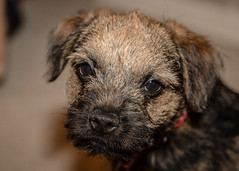 Little Ted (Dan Elms Photography) Tags: ted terrier dog puppy mutt pet cnaon canon 5d 24105l 24105mml
