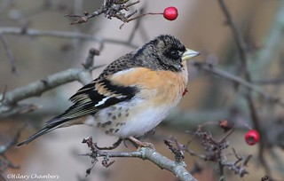 Brambling - Explored