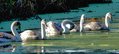 All in a row.. (tina negus) Tags: grantham canal casthorpe swan cygnets