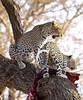 Magnificent Leopards (perkster24) Tags: leopard leopards magnificent magnificentleopards cat bigcat wildlifephotography wildlife wild wildanimal kenya africa african masaimara masaimaranationalreserve nature naturephotography