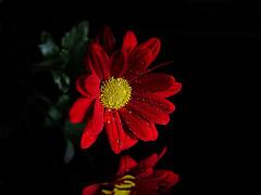 Red Chrysanthemum b (Smiffy'37) Tags: red chrysanthemumns flower macro closeup blackbackground tabletop reflections