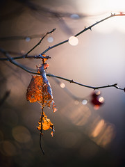 Walking the dog 28/12/2016 (Matthew Dartford) Tags: backlight backlit blow bokeh branch broken dead gold golde golden happisburgh leaf outoffocus ruins tree