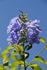 Plumbago auriculata France (Lark Ascending) Tags: plumbago france languedoc plant shrub blue periwinkle plumbagoauriculata leadwort