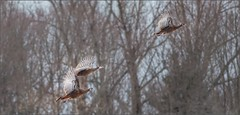 7431-  Wild Turkeys in Flight (canuckguyinadarkroom) Tags: wild turkey bird winter