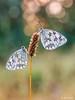 lluvia (gatomotero) Tags: olympusomdem1 mzuiko60 verano butterfly lluvia flores bokeh ambiente nature summer16 medioluto norteña