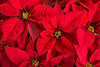 Closeup of red poinsettia flowers (Jessica_PFP) Tags: poinsettia flower red green holiday season seasonal decoration leaves petals foliage floral bloom xmas closeup vivid plant flora background nature holidayspecific nopeople christmas december winter holidaysymbol redleaves plants festive redpetals merry redpoinsettias natural redbackground