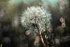 Trioplan 100mm (heike_hechelmann) Tags: trioplan 100mm bokeh sony a7ii analog analoge mayergörlitz meyergörlitz bubbles bubbel flower 28100 colour retro vintage hff tgif