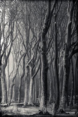 Gespensterwald Nienhagen bw