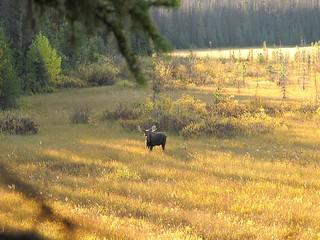 British Columbia Wolf Hunt & Big Game 12