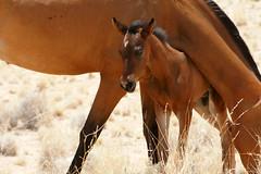 DSC02110 - NAMIBIA 2010 (HerryB) Tags: namibia afrika südafrika südwest afrique africa 2010 sony tamron alpha bechen heribert fotos photos flickr minolta konica dynax photography herryb heribertbechen reise safari rundreise pferd pferde horse horses cheval chevaux wildpferde wild sauvage aus garup wüstenpferde