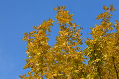 Last leaves (dfromonteil) Tags: nature autumn winter automne hiver feuilles leaves tree arbre sky ciel bleu blue orange fauve light sunlight lumière