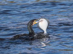 Cormorant and Catch (Follow Me Follow You) Tags: stevenwaddinghamphotography fish bird wild river strean sea nature north coast