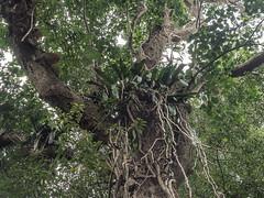 _B166244 Epiphytes high up.jpg (JorunT) Tags: orkide botaniskhage peradeniya srilanka 2016 kandy epifytt