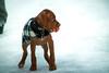 "7/365 - ""Disco"" On Ice (Cheryl ~) Tags: puppy fetch winter"