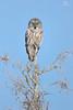 Chouette lapone - Great gray owl - Strix nebulosa (Maxime Legare-Vezina) Tags: bird oiseau nature wild wildlife animal fauna ornithology canon biodiversity winter hiver owl wow