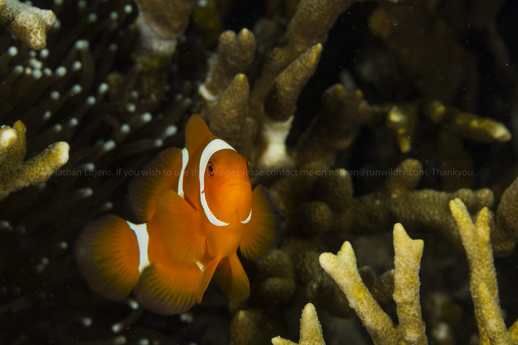 The world 39 s best photos of clown and fish flickr hive mind for Freshwater clown fish