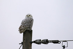 Snowy Owl 2_HE1A7733cmcol-25L (Joyce_E_Landean (Trying to get back at it)) Tags: snowyowl senecabirds fingerlakesregionalairport bird snowys owls upstateny fingerlakesarea fingerlakes