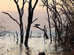 African Darter (Anhinga rufa) (mat.breiten) Tags: african darter anhinga rufa bird baringo kenya