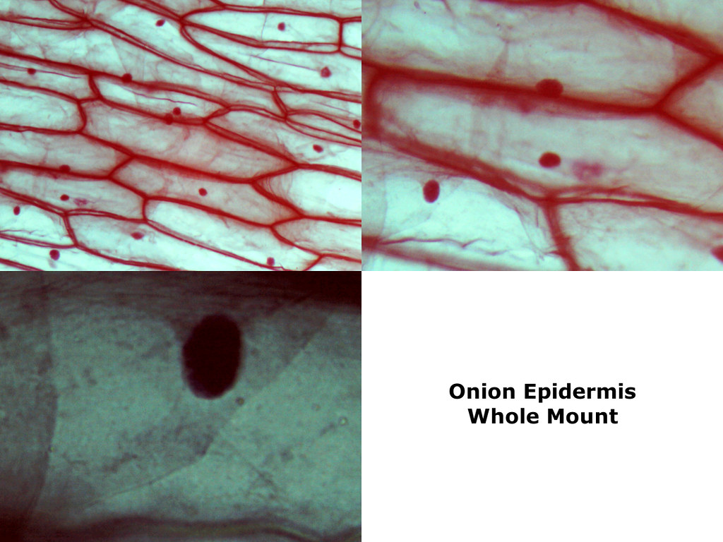 School Science/How to prepare an onion cell slide