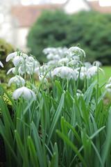 Winter Drops @ Charing (Adam Swaine) Tags: snowdrops flora flowers wildflowers church churchyard churches charing naturelovers nature swaine 2017 ukcounties uk britain british wwwadamswainecouk canon petals