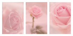 Study of a rose (BirgittaSjostedt) Tags: rose flower triptych montage collage nature mcro closeup beauty birgittasjostedt texture softnesss magicunicornverybest ie
