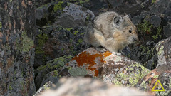 American Pika Pooping (jerefolgert) Tags: american pika poop caecal pellets peppercorn crap shit dropping orange lichen jewel talus molt adult mountains whiskers fur cute cozy love urine urinate pee piss defecate eat feeces
