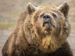 Grrrrrrr (Matt H. Imaging) Tags: ©matthimaging bear zoo animal mammel fauna amersfoort sony slt sonyalpha slta77ii a77ii ilca77m2 ilca77ii minoltaaf70210mmf4 minolta minolta70210f4 beercan explore explored autofocus