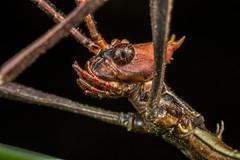 Perseid passenger? #1 (affectatio) Tags: macro bug insect leaf stick stickinsect extatosoma tiaratum extatosomatiaratum spinyleafinsect leafinsect mpe65
