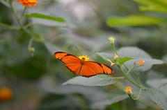 Vuurpassiebloemvlinder (Dryas iulia) (Frank Berbers) Tags: macro butterfly insect lepidoptera schmetterling vlinder juliabutterfly vlindertuin passiebloemvlinder orchideenhoeve schubvleugeligen nikond5100 vlindertuinorchideenhoeve
