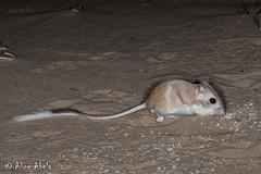 Desert Kangaroo Rat (Dipodomys deserti) (aliceinwl1) Tags: arizona2015 ca california chordata dipodomys dipodomysdeserti heteromyidae kelsodunefield kelsodunes mammalia mojavedesert mojavenationalpreserve rodentia sanbernardinocounty desertkangaroorat deserti kangaroorat locpublic mammal rodent viseveryone