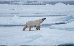 DSC_3529 (stacyjohnmack) Tags: july23 polarbear artic