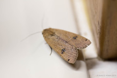 20150825-_N9A2501.jpg (whereamihere) Tags: moth places chebeague insectsandspiders largeyellowunderwingnoctuapronuba 1unknownmoth