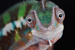 Chameleon Close-up (Jen St. Louis) Tags: pet ontario canada studio reptile elmira norbert chameleon pawprints petportrait petportraits petphotography pantherchameleon jenstlouis wwwpawprintsphotosca