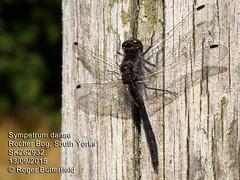 Black Darter (Roger B.) Tags: dragonfly unitedkingdom sheffield southyorkshire odonata blackdarter sympetrumdanae rocherbog