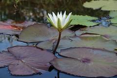 Falsa vitria rgia (ea_m42) Tags: brasil bahia vitriargia chapadadiamantina flres florderio riomaribus