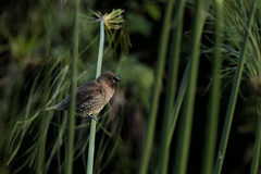 Nutmeg Mannikin (Peter Stahl Photography) Tags: bird hawaii alien maui mannikin nutmegmannikin
