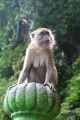 Monkey (Dariusz Laszczyk) Tags: malezja malaysia batu caves monkey