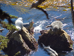 Harbor seals (lvalgaerts) Tags: ocean california sea coast rocks waves pacific wildlife bigsur seal carmel pointlobos