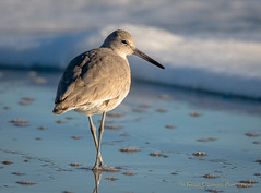 Willet (Kevin James54) Tags: catoptrophorussemipalmatus nikond500 tamron150600mm willet animals avian bird kevingianniniphotocom
