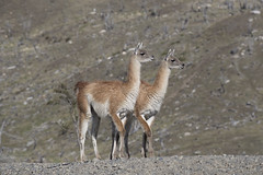 Chile (richard.mcmanus.) Tags: chile torresdelpaine guanaco mammal animal wildlife mcmanus gettyimages