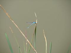 Libelula (raulgd2002) Tags: libelula insectos naturaleza lagos rios charcas
