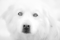 white on white (Blende1.8) Tags: dog hund white weiss weis snow winter schnee portrait nase nose monochrom monochrome schwarz black lowkey mono bw hirtenhund animal tier tuscany toskana fineart nikon d700 afs nikkor 70300mm carstenheyer sheepdog herdingdog